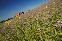 Sunflowers Spotting A Field Of Purple Flowers By An Old Farmhouse