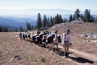 Walking Pack Llamas Along A Mountain Ridge