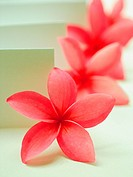 Close_up of Frangipani flowers in a row Plumeria