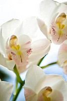 Close_up of White Cymbidium orchid flowers, Maui, Hawaii, USA