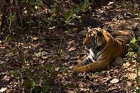 Royal Bengal Tiger resting in forest shade Kanha National Park Madhya Pradesh India Asia