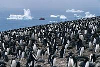 Adelie penguins colony on the waterfront, Paulet Island, Antarctic Peninsula, Antarctica