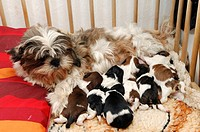 Shih-tzu dog puppies seven days old, sucking at one´s mother´s breast