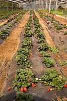 Cultivation of Strawberry in Nursery, Vacaria, Rio Grande do Sul, Brazil