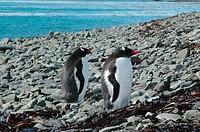 Penguin, Bird, Glacier, Geórgia