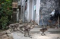 Goose rearing at Fuhe village, Kaiping, Guangdong Province, China