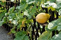Squash Cucurbita growing in a fence