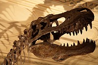 England, London, South Kensington, Albertosaurus skull in the Natural History Museum.