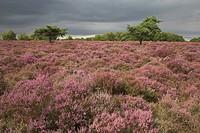 England, Suffolk, Westleton Heath, The sun lighting up the stunning displays of Heather on Westleton Heath in Suffolk.