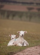 two lambs laying on the grass