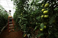 Curacao, Westpunt The island is depending for food on South America The Kura Hulanda group has built a greenhouse using cold seawater to cool the crop...