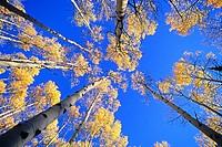 Goose Creek Mountains, Autumn colors and Aspen trees high in the Goose Creek Mountains of southern, Idaho