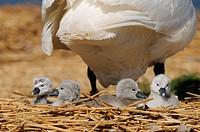 England, Dorset, Abbotsbury. Mute Swan Cygnus Olor cygnets on nest with an adult at Abbotsbury Swannery.