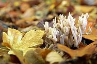 MUSHROOMS, FOREST OF TRONCAIS, ALLIER 03, FRANCE