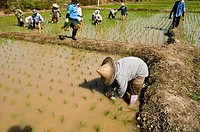 Thai farmers working in the paddy fields.
