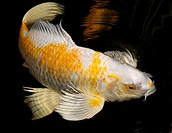 White and Yellow Yamabuki Hariwake Butterfly Koi fish swimming at night