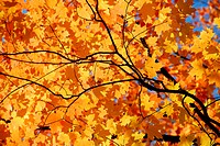 Background of bright orange fall maple leaves with tree branches