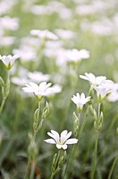 Floral background of cerastium snow_in_summer flowers close up