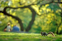 SQUIRREL UNDER A TREE IN CENTRAL PARK, MANHATTAN, NEW YORK, USA