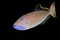 Gilded Triggerfish, male courting coloration, Xanthichthys auromarginatus, Kona Coast, Big Island, Pacific Ocean, Hawaii, USA