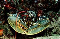 Common lobster, Homarus gammarus, Adriatic sea Mediterranean sea, Croatia