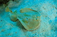 Panther electric ray, Torpedo panthera, Red Sea, Egypt