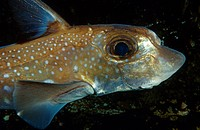 male Spotted Ratfish, Hydrolagus colliei, British Columbia Pacific, Canada