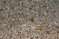 Mediterranean Dragonet hiding in Sand, Callionymus lyra, Tamariu, Costa Brava, Mediterranean Sea, Spain