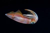 Squid at Night, Loligo vulgaris, Triscavac Bay, Susac Island, Adriatic Sea, Croatia
