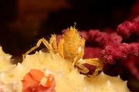 Yellow Majoid Crab, Herbstia, Ile de Porquerolles, Hyeres, Cote d´Azur, France