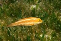 Juvenile European Parrotfish, Sparisoma cretense, Kas, Mediterranean Sea, Turkey