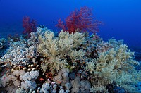 Coral Reef with Soft Corals, Marsa Alam, Red Sea, Egypt