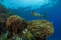Skin Diver over Coral Reef, Marsa Alam, Red Sea, Egypt