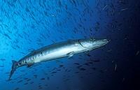Great Barracuda, Sphyraena barracuda, Nabucco, Kalimantan, Indonesia
