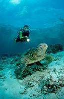 Green Turtle and scuba diver, Chelonia mydas, Pacific ocean Borneo Sipadan, Malaysia