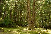 Canada, BC, Haida Gwaii Queen Charlotte Islands, Gwaii Haanas National Park. Temperate rainforest at the abandoned Haida village site, Tanu T´aanuu Ll...