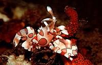 Harlequin shrimp eating star fish, Hymenoceara elegans, Bali Indian Ocean, Indonesia
