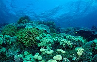 Coral reef Reef top, Wakatobi, Bandasea, Celebes, Indonesia