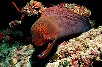 Giant Moray, Gymnothorax javanicus, Ellaidhoo House Reef, Ari Atoll, Maldives