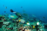 Group of Fishes over Coral Reef, North Ari Atoll, Maldives