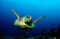 Hawksbill Turtle, Eretmochelys imbricata, Kandooma Thila, South Male Atoll, Maldives