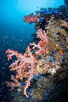 Colorful Coral Reef, Cabilao Island, Visayas Islands, Philippines