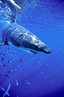 great white shark, Carcharodon carcharias, Guadalupe Island, Pacific Ocean, Mexico