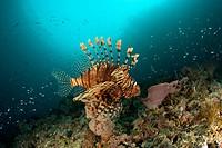 common lionfish, Pterois volitans, Raja Ampat, Irian Jaya, West Papua, Pacific Ocean, Indonesia