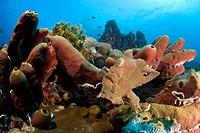 giant frogfish on sponges, Antennarius commersonii, Theonella swinhoei, Maolboal, Cebu, Philippines