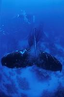 Humpback Whale, Megaptera novaeangliae, Silver Banks, Caribbean Sea, Dominican Republic