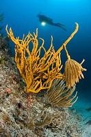 Squid Eggs hanging on Yellow Sponge, Axinella Canabina, Marettimo, Aegadian Islands, Sicily, Mediterranean Sea, Italy