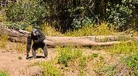 Chimpanzee (Pan troglodytes), Ol Pejeta Conservancy, Kenya