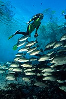 Snorkeler and Shoal of Fish, Trichechus manatus latirostris, Crystal River, Florida, USA