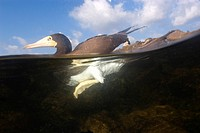 Brown booby, floating at the surface, Sula leucogaster, Saint Peter and Saint Paul Rocks, Atlantic Ocean, Brazil